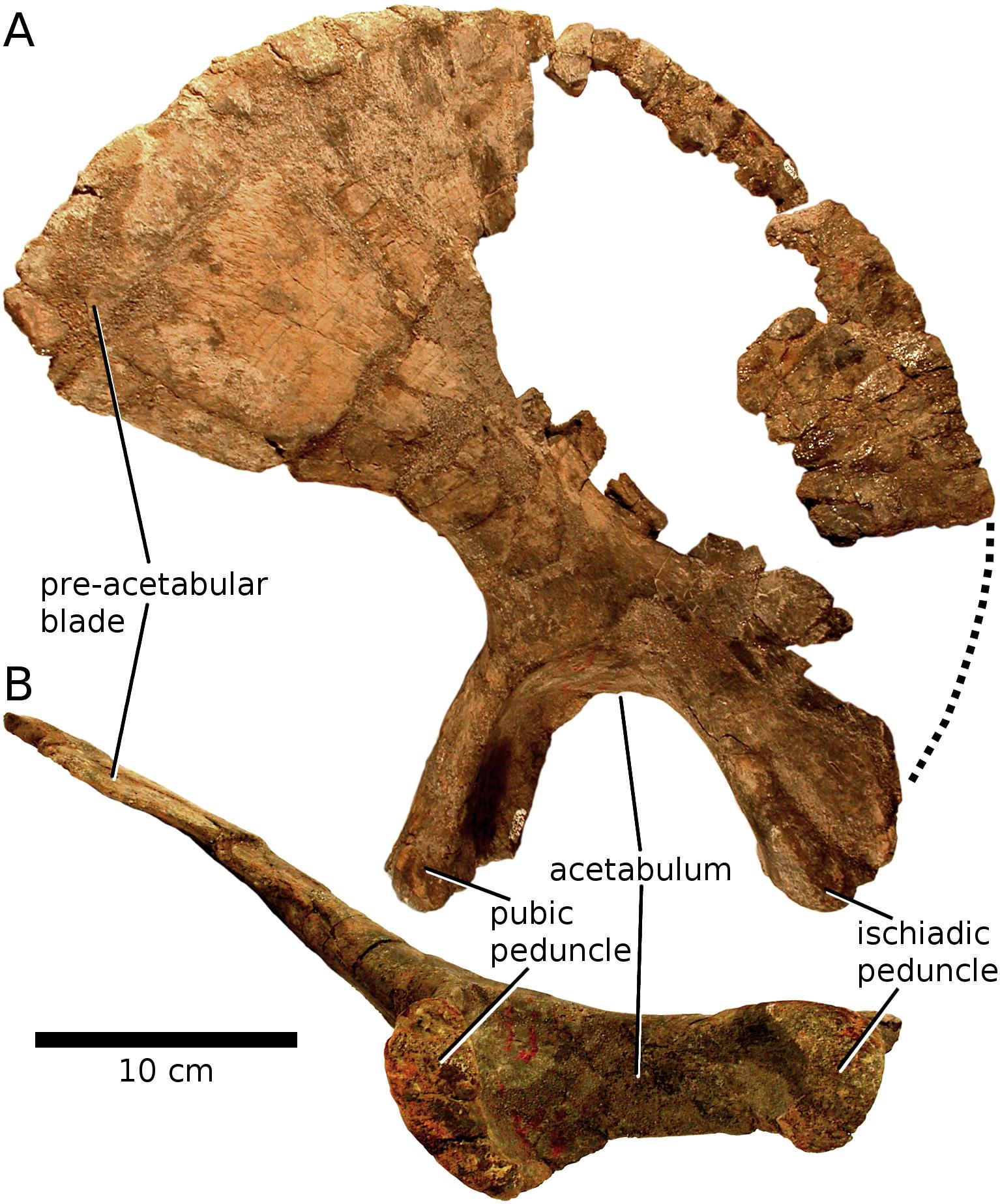 Reconstructing The Ilium Of Brontomerus Sauropod Vertebra Picture