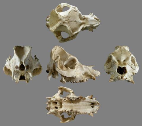 Mike Taylor Cranium Of The Pig Sus Domestica