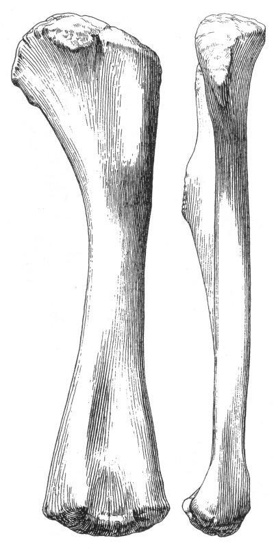 http://www.miketaylor.org.uk/tmp/brachiosaurus-brancai-humerus.jpeg